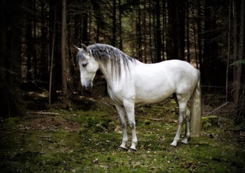 Horse portrait of an Andalusian in the woods