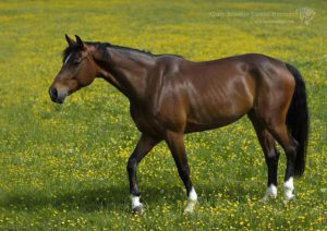 Natural surroundings Equine studio horse portrait in the New Forest Hampshire Equestrian