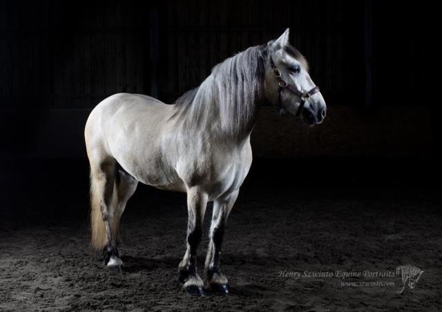 Hardy Highland horse portrait