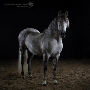 Iberian Class Champion New Fores Show Lusitano Equine Dressage studio horse portrait in the New Forest Hampshire Equestrian