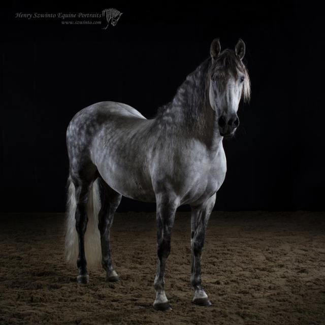 Iberian Champion winning Horse portrait