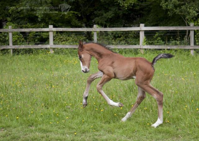 Dressage Lasseter stud Equine studio horse portrait in the New Forest Hampshire Equestrian Foal