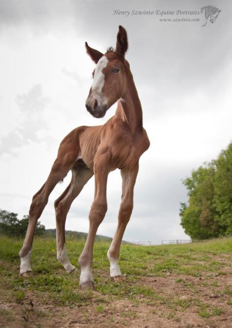 New Born foal Portrait