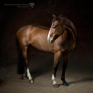 Eventer Equine studio horse portrait in the New Forest Hampshire Equestrian Dressage Eventing