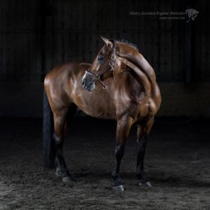 Dressage Lasseter stud Equine studio horse portrait in the New Forest Hampshire Equestrian