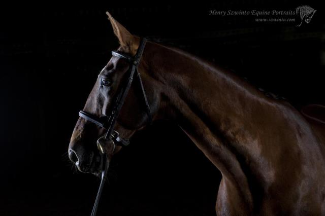 Dutch Warmblood horse portrait