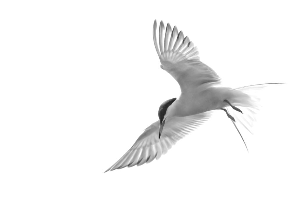 Hampshire photographer Henry Szwinto loves to photograph terns