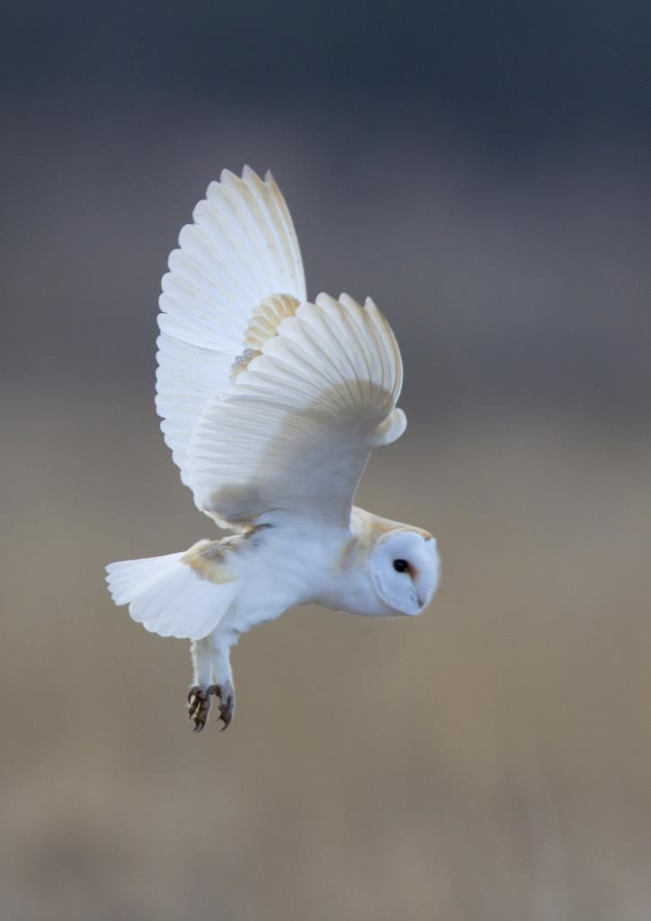 Barn owl hunting at day time by Hampshire photographer Henry Szwinto