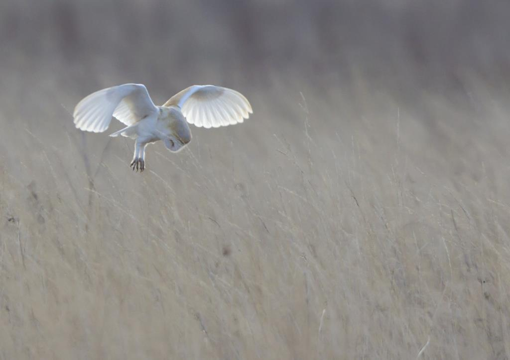 Barn Owl by Hampshire photographer Henry Szwinto