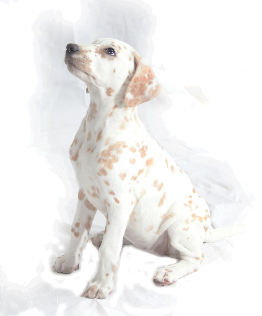 Dalmatian portrait by Hampshire photographer Henry Szwinto