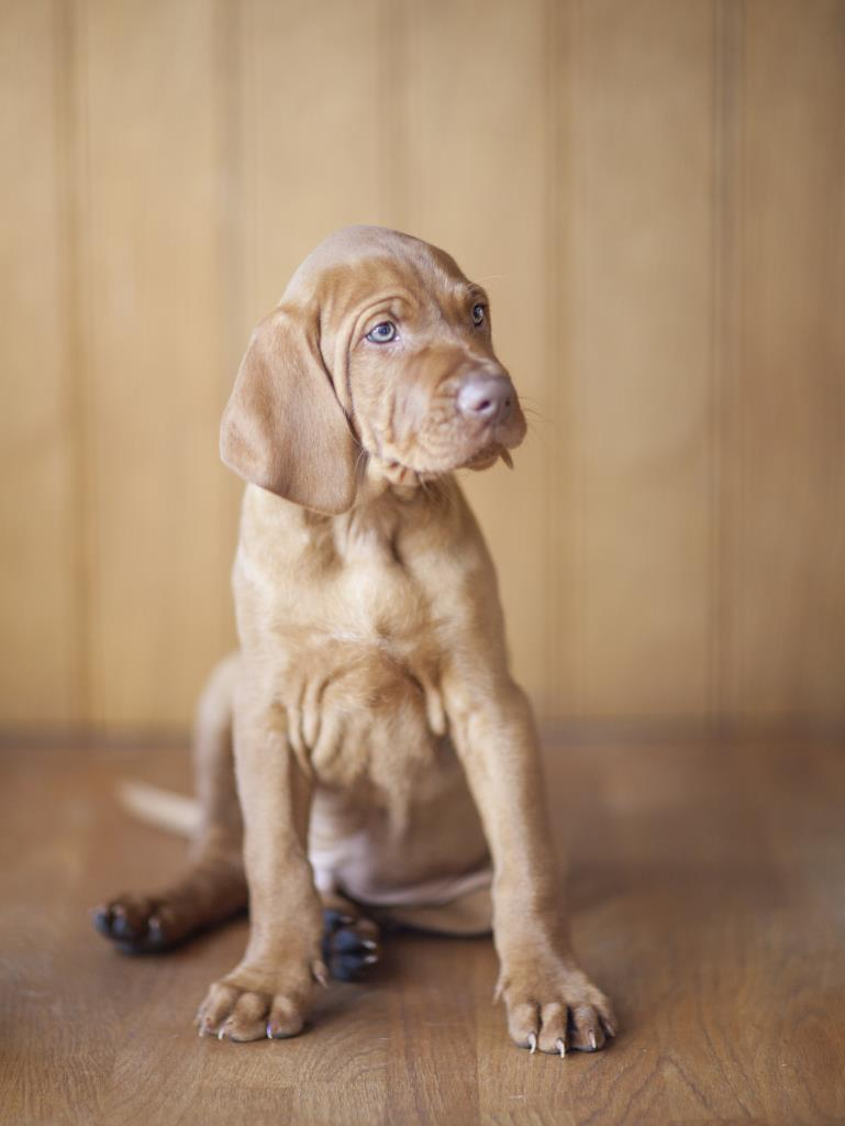 Vizsla puppy by Hampshire Photographer Henry Szwinto