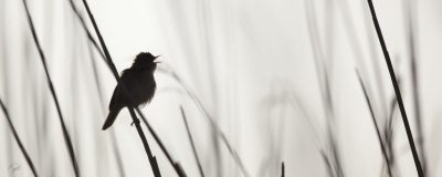 Reed Warbler pennington Marshes Lymington New Forest Hampshire Henry Szwinto Photography