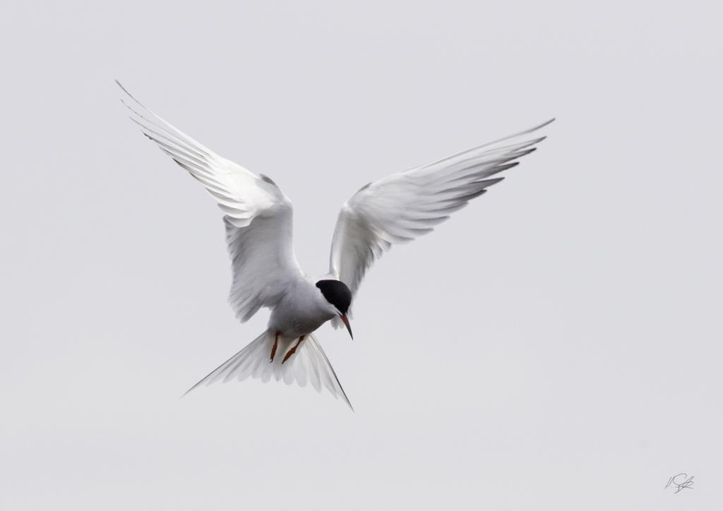 Tern flight Pennington Marshes Lymington New Forest Hampshire Henry Szwinto Photography