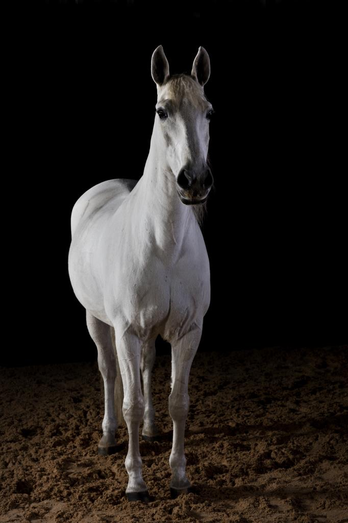 Full length horse portrait of Semoto the Lusitano