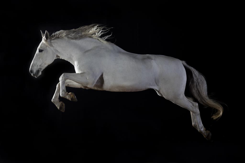 Lusitano free jumping horse portrait