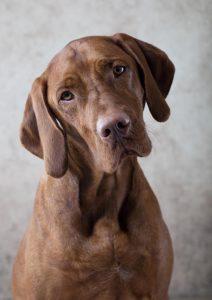 Vizsla dog portrait puppy photography