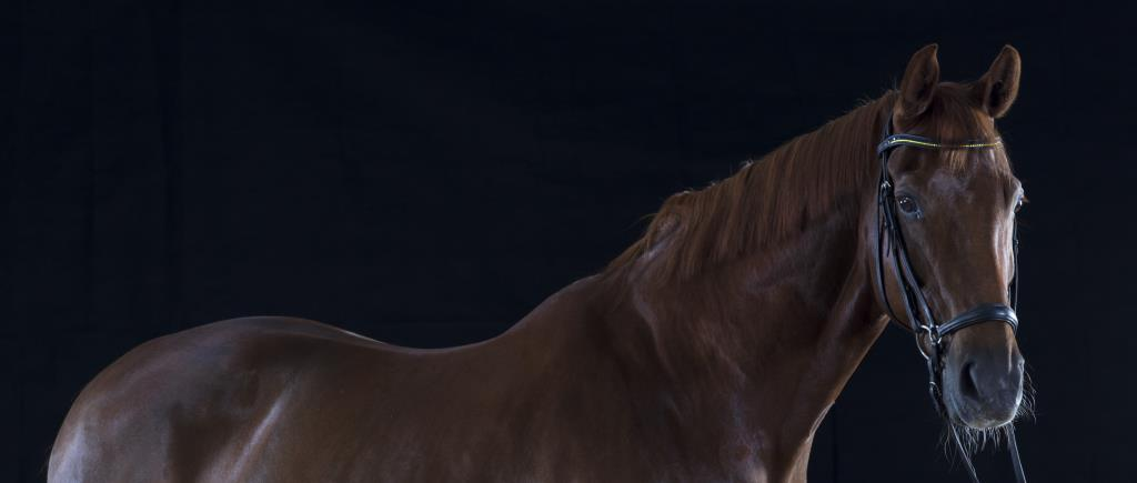 Studio Portrait Andalusian Stallion
