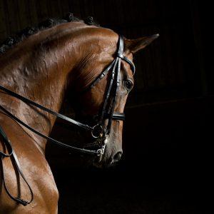 Hanoverian dressage horse